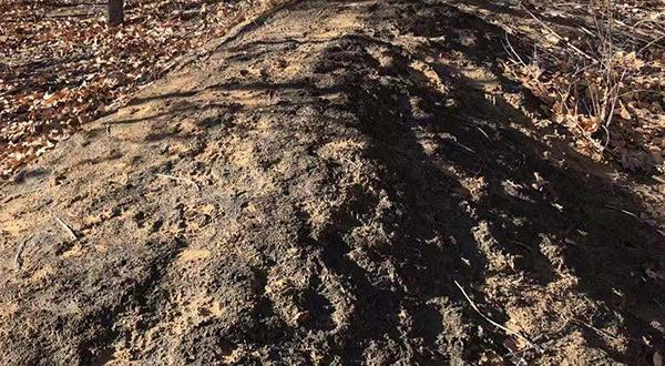 长年经由污水灌溉后,速生林里的沙土上留有一层黑色物质。澎湃新闻记者 陈雷柱 图