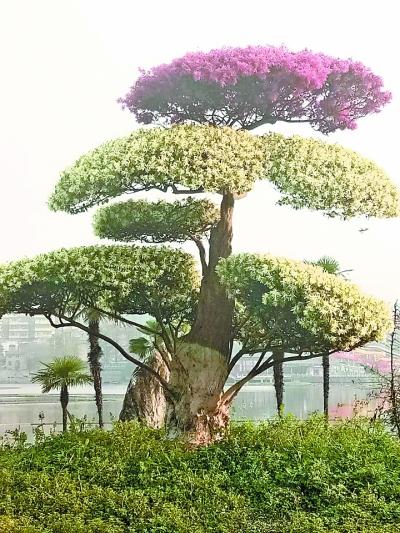 不稀奇!雙拼景觀樹在武漢比較常見