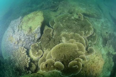 △翼型蔷薇珊瑚主导的造礁石珊瑚群落