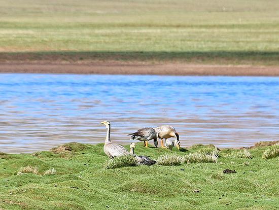 青海三江源国家公园内的斑头雁。视觉中国 原料图