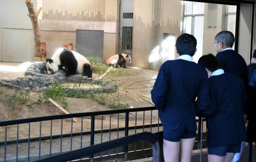 """2017年12月18日,在日本东京上野动物园,小学生观看大熊猫幼崽""""香香""""(右一)与它的妈妈""""仙女""""(日本名字""""真真"""")。新华社记者 马平 摄"""
