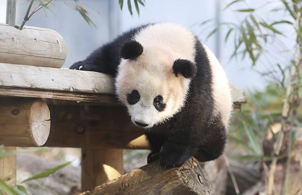 """熊猫宝宝""""香香""""。"""