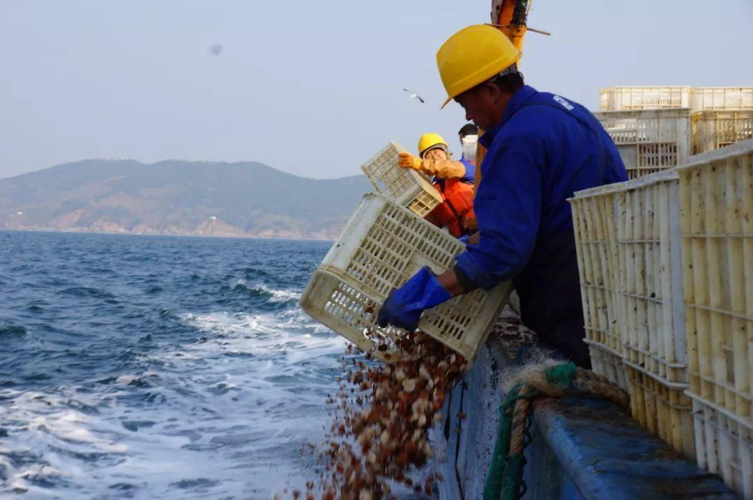 (图为2013年,獐子岛渔业工人播撒虾夷扇贝幼苗)