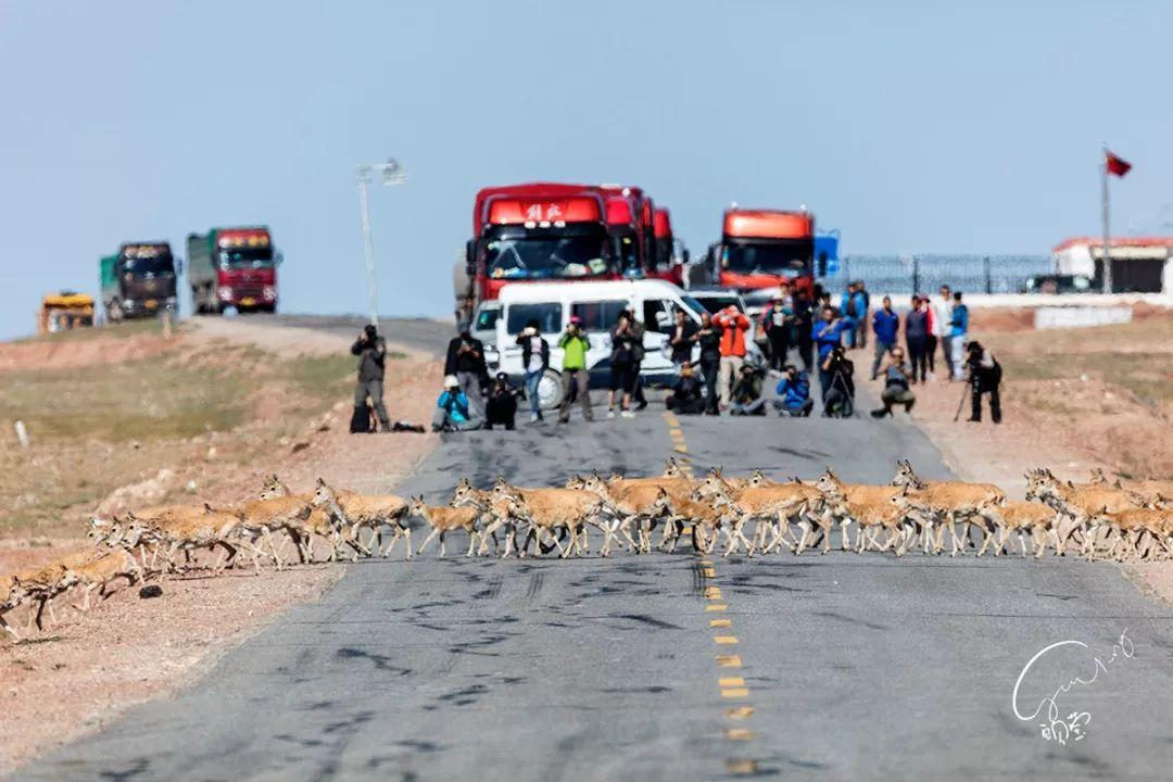 做事人员协助藏羚羊过马路