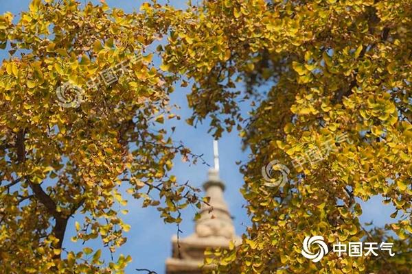 近两天北京降温明显,银杏树枝头已经染上一片金黄。(图/王晓)