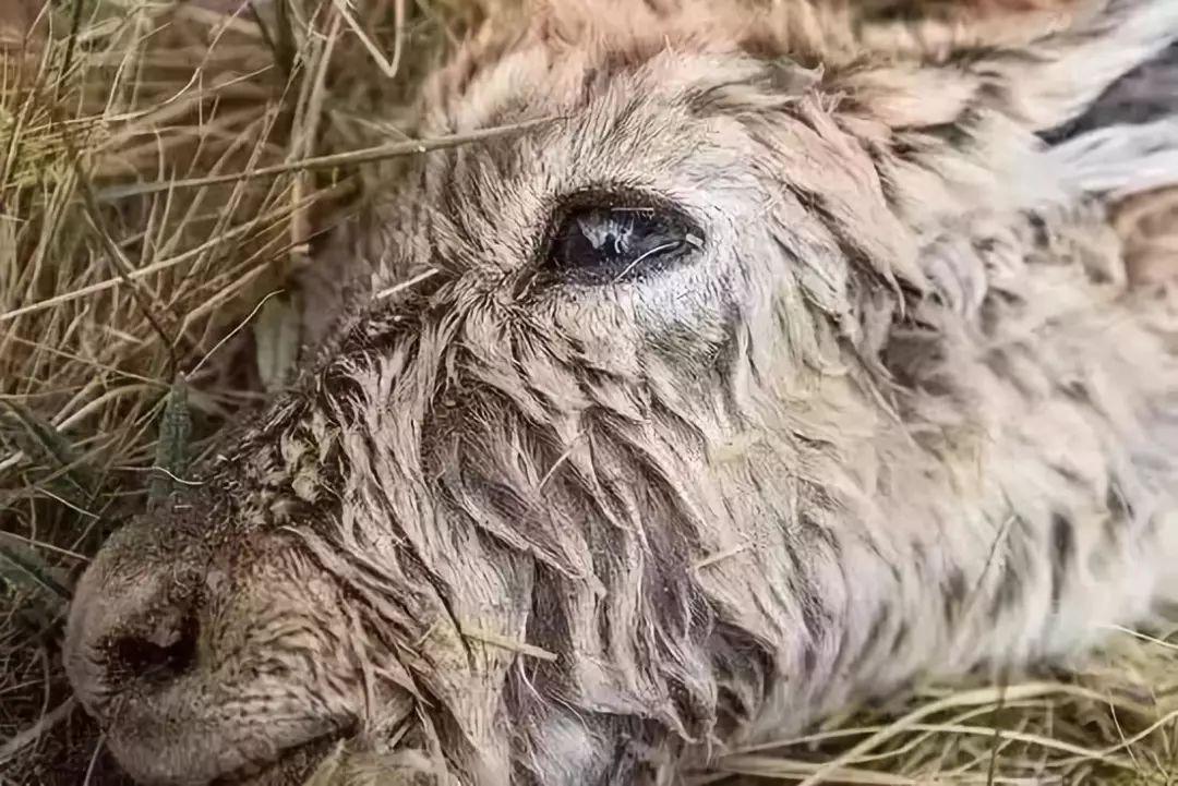 濒物化的藏羚羊,眼睛里有顾莹的影子