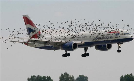 """""""鳥撞""""目前是世界性難題。西北工業大學供圖"""