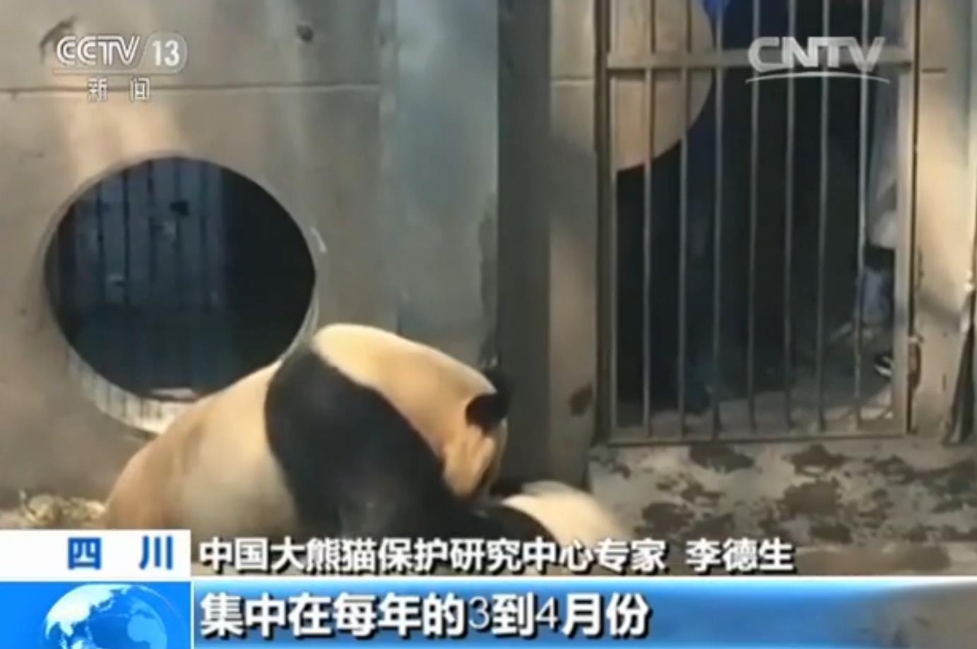 熊猫宝宝幼儿园小班的那些事|大熊猫|熊猫