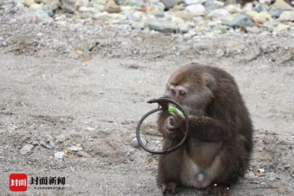 野生藏酋猴遇捕�F�A下山向人求助 保�o�^:正�ふ�