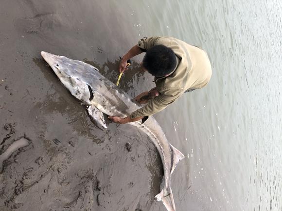 正在对达氏鳇测量。江津区渔政站供图 华龙网-新重庆客户端发