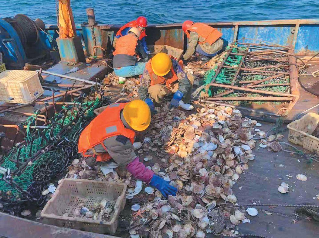 ▲11月16日,獐子岛公司职工正在船上现场分拣捞上来的扇贝。新京报记者 韩沁珂 摄
