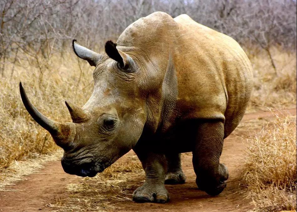 严厉打击犀牛和虎及其制品的非法贸易