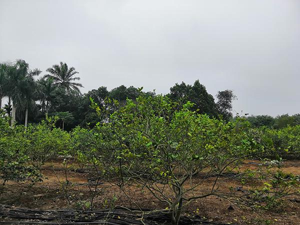 柠檬园负责人称,园里有五百棵柠檬树是黄家光的。澎湃消息记者 明鹊 图