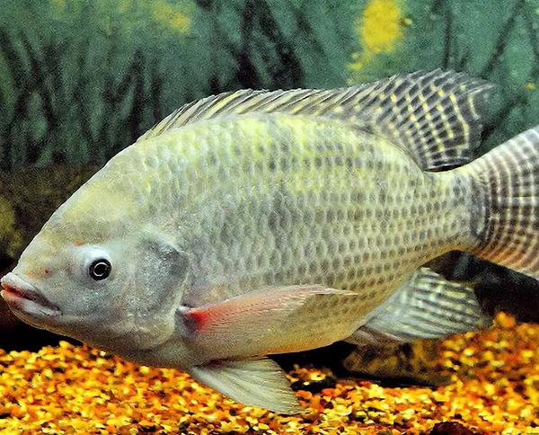 莫桑比克罗非鱼。