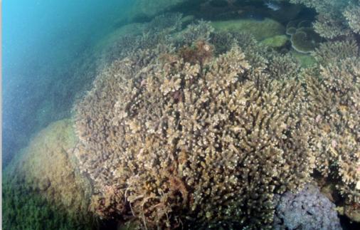 △霜鹿角珊瑚主导的造礁石珊瑚群落