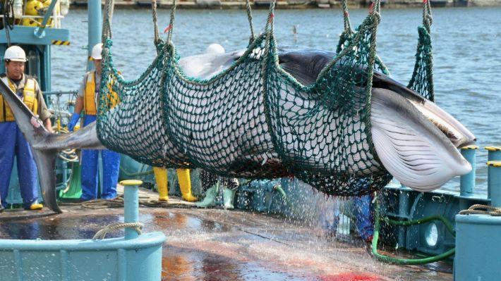 """日本""""退群""""重启商业捕鲸 难道就为了吃鲸肉?"""
