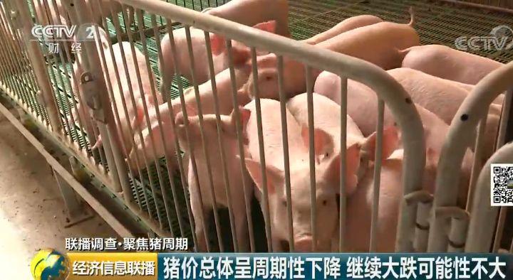 養一頭虧300元 風口上的豬為啥不起飛了?