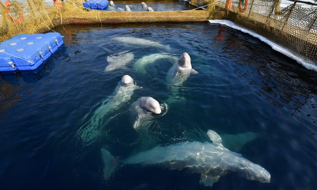 涉事白鲸在池塘中 图俄罗斯塔斯社