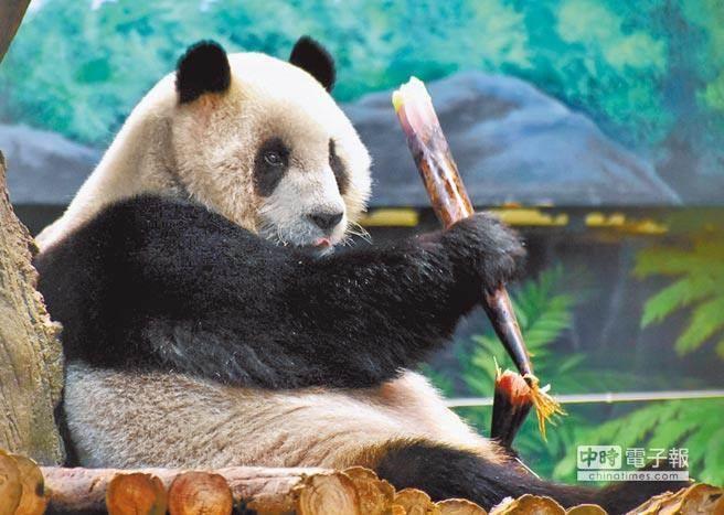 """两岸关系不好 台媒称台大熊猫赴陆""""找对象""""遭拒"""