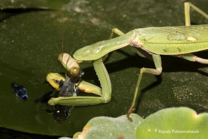 科学家第一次记录祈祷螳螂捕捉并吃掉水里的鱼p1