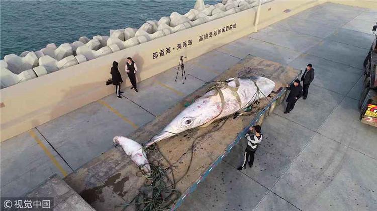 须鲸被运上货车。图/视觉中国