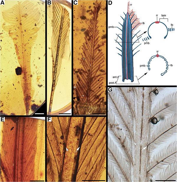 琥珀中崭新羽毛及其羽轴模型图