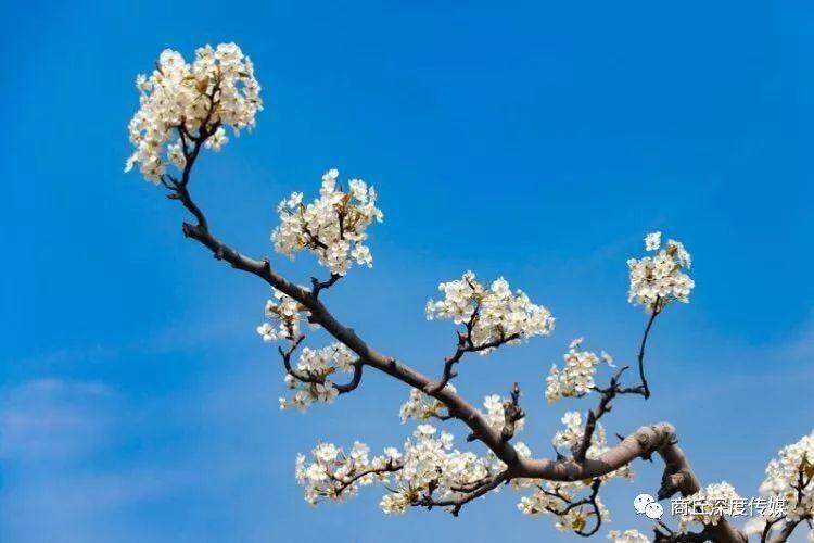和月折梨花txt新浪_春风十里,梨花开……|梨花|梨树|梨园_新浪网
