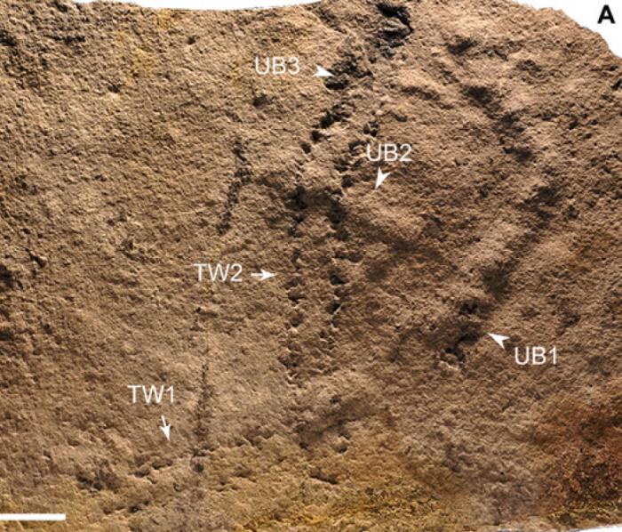 古生物学家发现最古老的动物足迹 但不确定物种