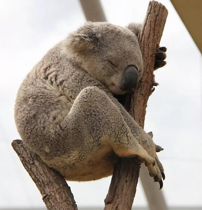 在树枝上睡觉的小考拉。图/视觉中国