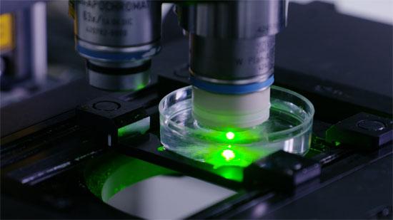 共聚焦显微镜活体不悦目察造血干细胞归巢。