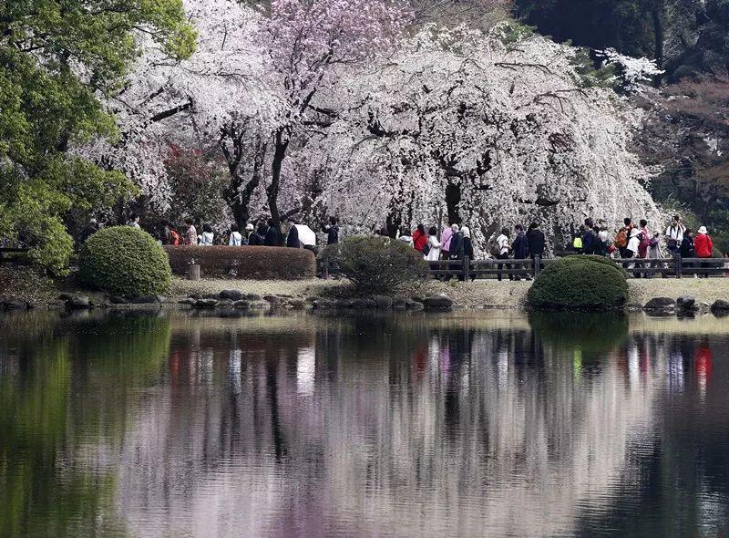 3月26日,在日本东京新宿御苑,游人欣赏樱花。(新华社/美联)