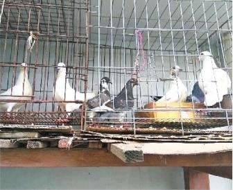 预计王大爷家今年_王爷爷家阳台上的鸽子(王爹爹供图)