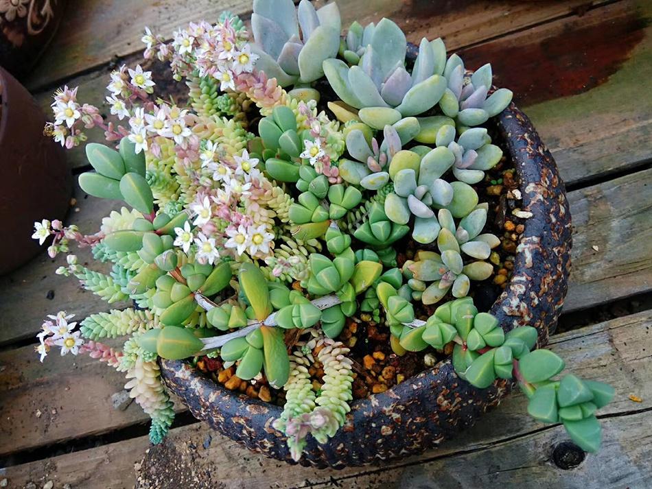 今年5月,小雪一时兴起,买了很多盆植物放在家里,多肉植物是其中养的最好的植物。