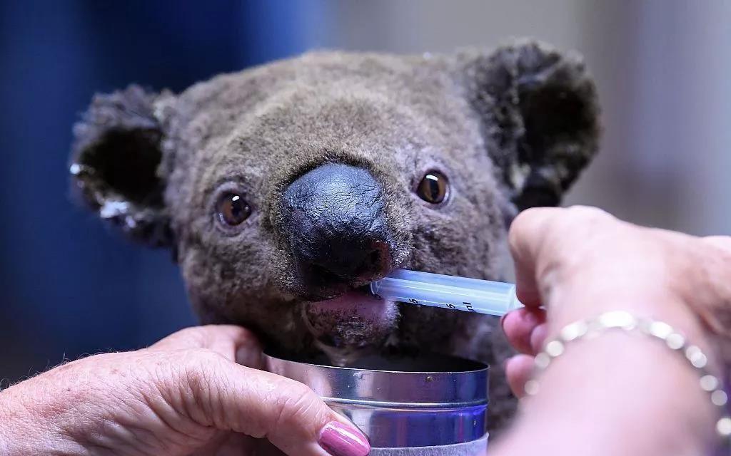 一只在澳大利亚考拉医院接受治疗的小考拉。图/视觉中国