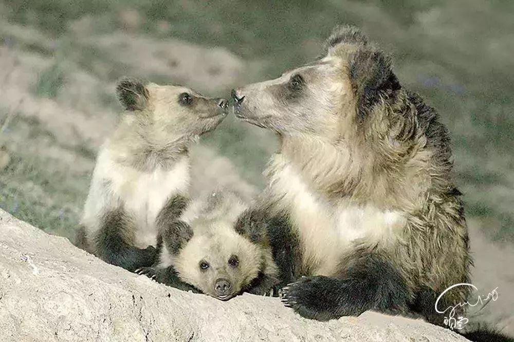 棕熊一家三口的温馨转瞬