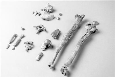 新发现的雄性猿最完整的部分骨骼共计21块。图片来源:《自然》网站