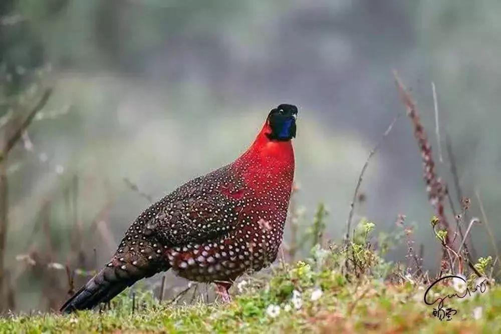 青藏高原专有的红胸角雉