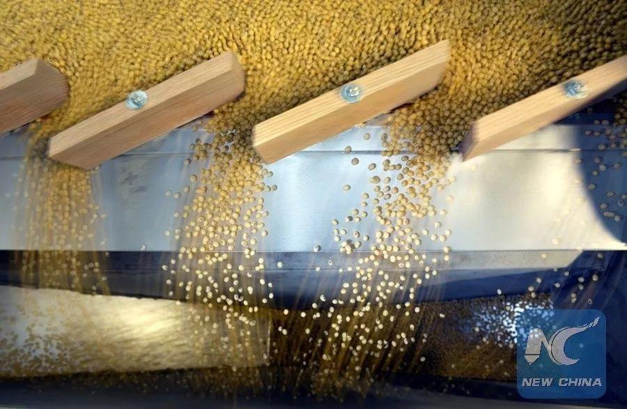 ▲美国北达科他州一处农场正在对大豆进行分拣。(新华社/路透社)