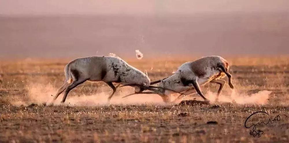 雄性藏羚羊打斗