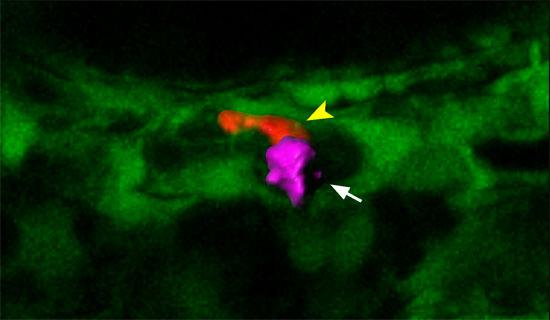 先导细胞(玫红色)引导造血干细胞(红色)归巢进入血管微环境。