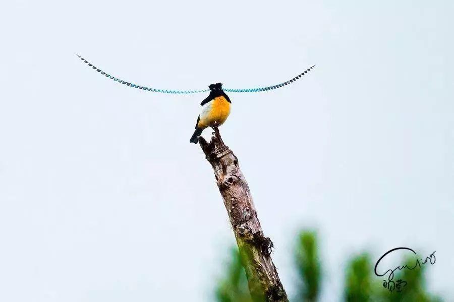 天国鸟——萨克森风鸟