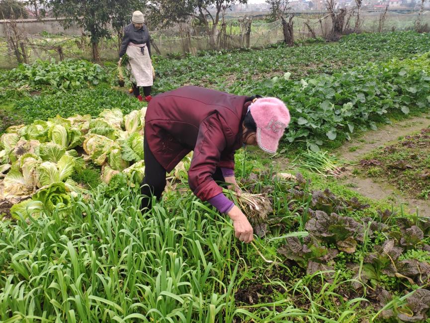 奶奶家的田地,奶奶和姑妈正在给我们摘蒜苗。每年春节,田里就要被摘秃一片,一袋袋被小辈们带回城去。