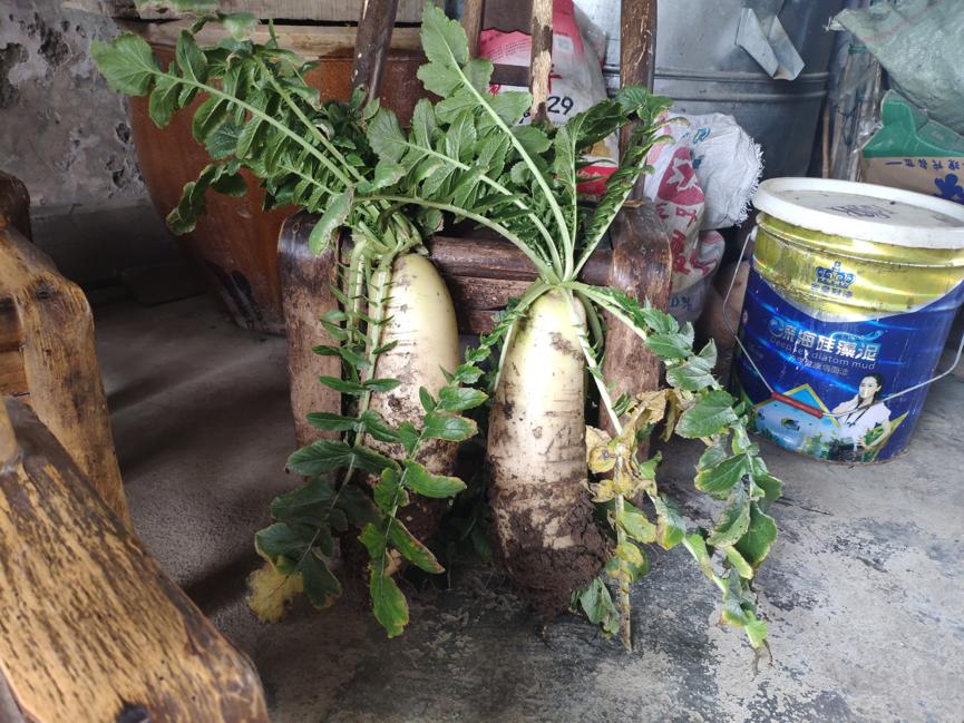 从奶奶地里拔的大萝卜,成为了我们家招待表姐一家的盘中餐。