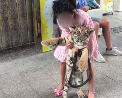 福建9岁女童遛老虎 网友:羡慕又担忧