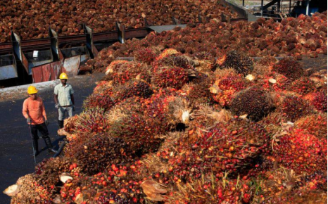 △等待加工的棕榈果实 图片来源:路透社