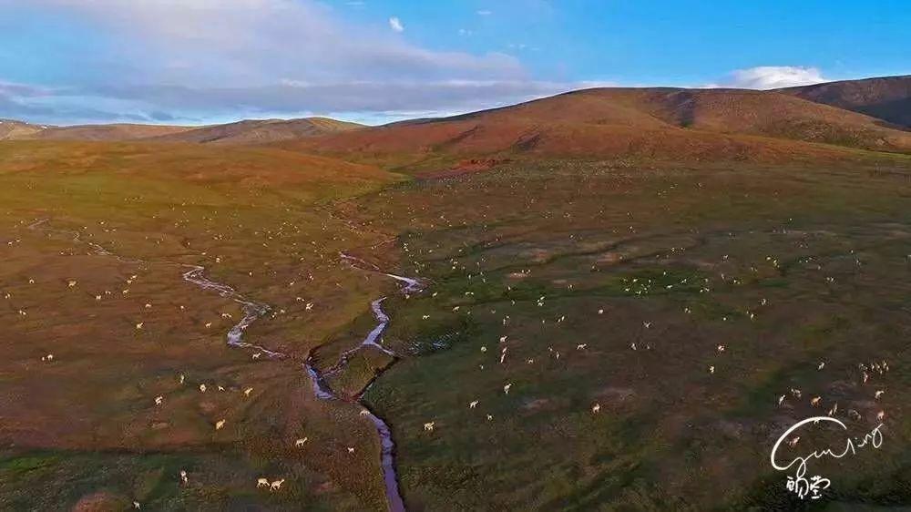 成千上万只藏羚羊在准备大迁徙