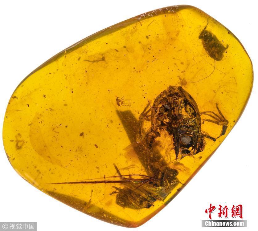 """中美学者发现恐龙时代琥珀蛙 命名""""李墨琥珀蛙"""""""
