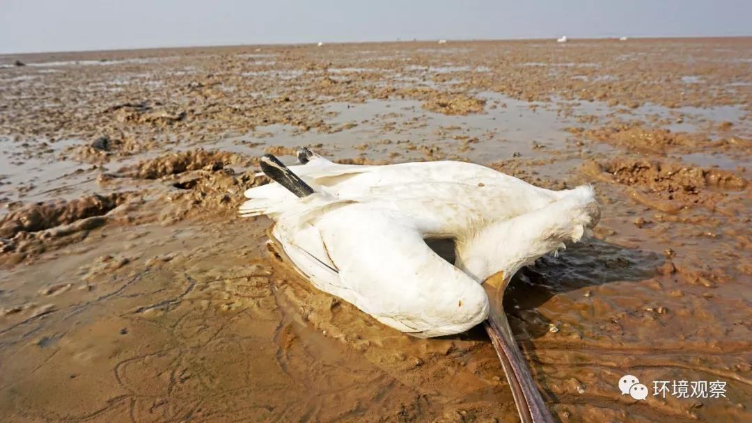 23日发现物化亡的白琵鹭,遥远还有白点