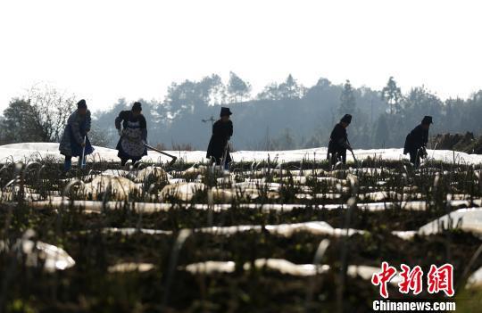 2月21日,在贵州省丹寨县扬武镇干河村中药材种植基地,苗族村民在给苗床松土。 中新网 黄晓海 摄