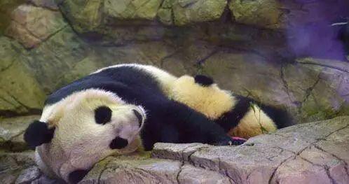 """▲在美国华盛顿国家动物园,大熊猫幼仔""""宝宝""""依偎在母亲""""美香""""的怀里睡觉。"""